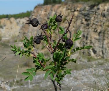 Rosa spinosissima on the edge of the cliff above the mined area